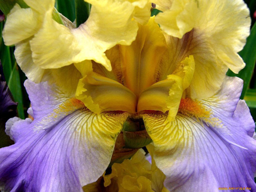 цветы ирисы все фото колесникова сделать фото
